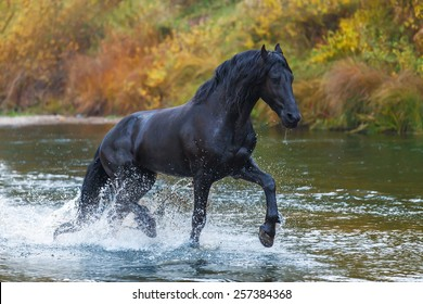 Beautiful black Frisian stallion rinning in the river in autumn landscape
