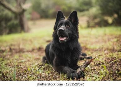 Beautiful black German shepherd dog in the autumn forest, selective focus