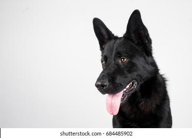 Beautiful black german shepherd dog in studio