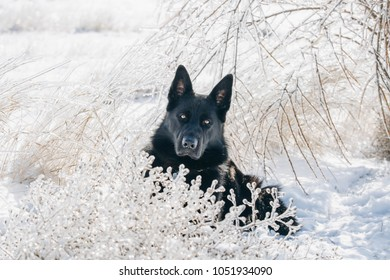 Black German Shepherd Lies Snow Stock Photo Edit Now 1051857317