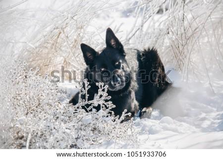 Beautiful Black German Shepherd Lies On Stock Photo Edit Now