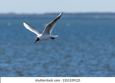 Beautiful Black Headed Gull, Chroicocephalus ridibundus, in elegant flight over blue water