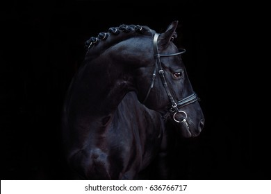 A beautiful black horse