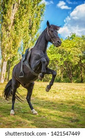 beautiful black horse stands on its hind legs in nature.