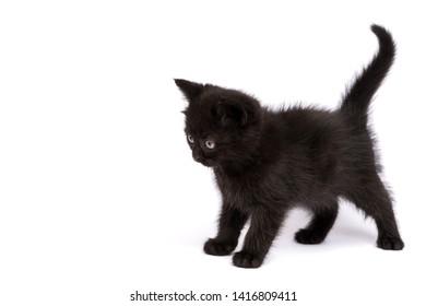 Beautiful black kitten on a white background
