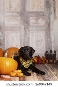 Beautiful black lab lying next to some pumpkins and gourds.  Room for your text.
