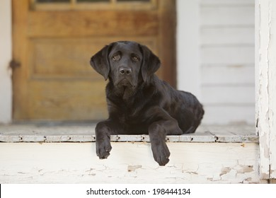 Beautiful black lab puppy lying on the porch of a house.  Room for your text.