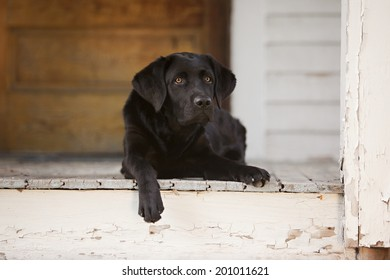 Beautiful black lab puppy lying on the front porch.