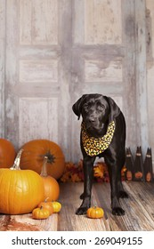 Beautiful black lab standing next to some pumpkins and gourds.  Room for your text.