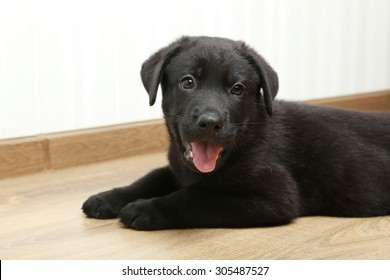 Beautiful black labrador puppy, close up