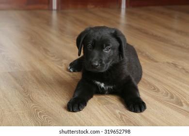 Beautiful black labrador puppy, close up