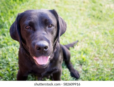 Beautiful black labrador retriever