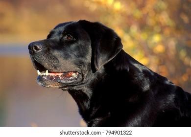 Beautiful black Labrador Retriever ,  blurred background, soft colors.