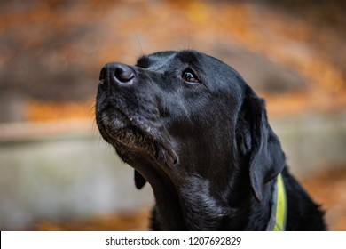 Beautiful black Labrador Retriever looking forward during autumn, dog has green collar, orange leaves are around, head of the dog is in the center