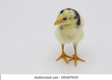 Beautiful black little chick isolated on the white