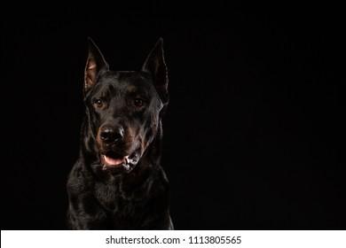 beautiful black male doberman dog on black background