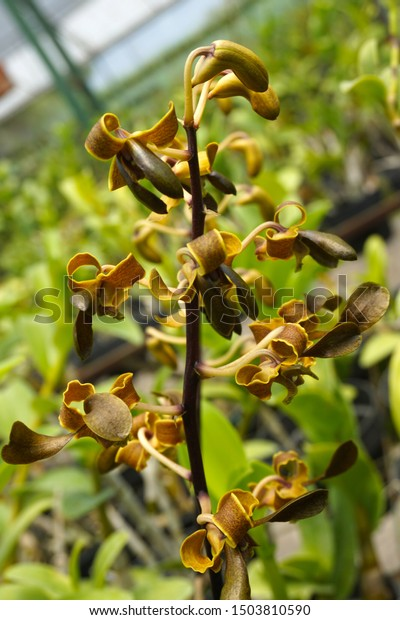 Beautiful Black Orchid Flowers Closeup Dendrobium Stock Photo