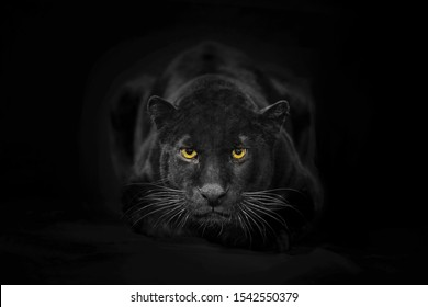Beautiful black panter portrait on dark background