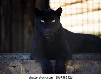 Black Panther Images Stock Photos Vectors Shutterstock