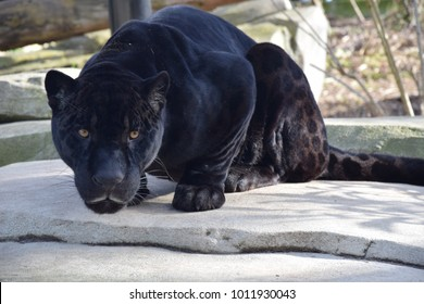 beautiful black panther picture