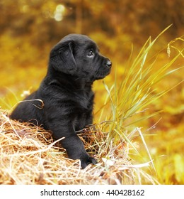 beautiful black puppy dog Labrador sitting on the hay in the fall at nature and thinks like a philosopher