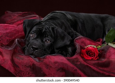 Beautiful black puppy with red rose