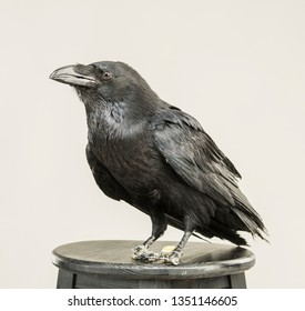 beautiful black raven sits on a white background in the studio