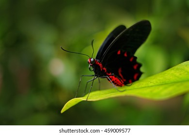Beautiful black and red poison butterfly, Antrophaneura semperi, in the nature green forest habitat, wildlife from Indonesia. Insect in tropical jungle.