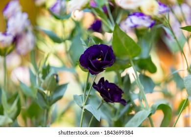Beautiful of black rose in the garden