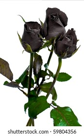 Free single black rose picture