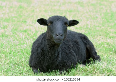 Beautiful black sheep on a meadow