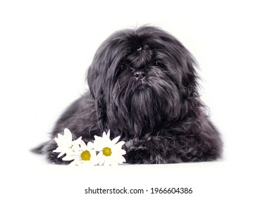 Beautiful black shih tzu puppy studio shot portrait. Fluffy dog baby with flowers isolated on a white background.