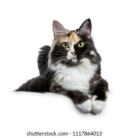 Beautiful black smoke tortie Maine Coon cat girl laying isolated on white background with two paws over edge and looking straight in lens
