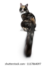 Beautiful black smoke tortie Maine Coon cat girl sitting backwards isolated on white background looking over shoulder into lens