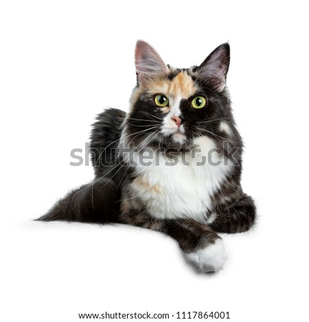 fdaf953747 Beautiful black smoke tortie Maine Coon cat girl laying isolated on white  background with one paw over edge and looking straight in lens - Image