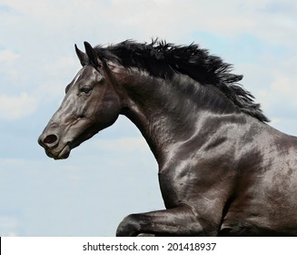 beautiful black stallion horse running in a corral: isolated