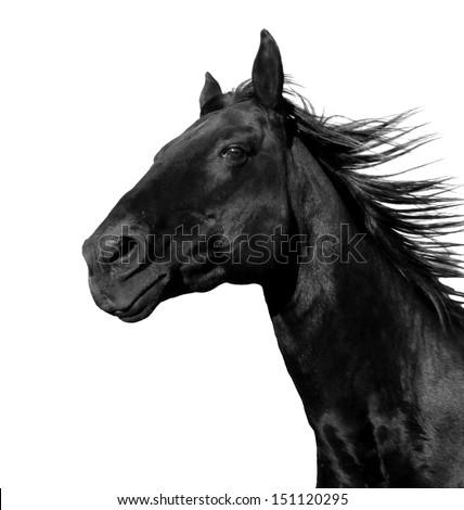 Beautiful Black Stallion Running Corral Isolated Stock Photo Edit