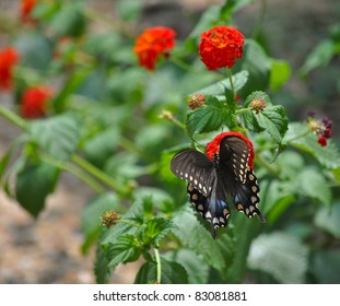 Beautiful Black Swallowtail Butterfly