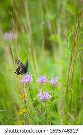 A beautiful black swallowtail butterfly extracts nectar from menarda wildflowers in a summer prairie.