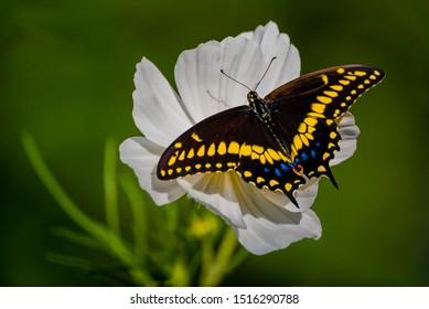 A beautiful black swallowtail butterfly is feeding on a pure white cosmos flower.