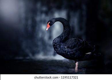 Beautiful Black Swan (Cygnus atratus). Copy space
