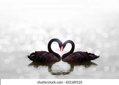 beautiful black swan in heart shape on white lake bokeh .Love bird concept