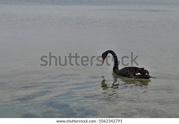Beautiful black swan reflected in water