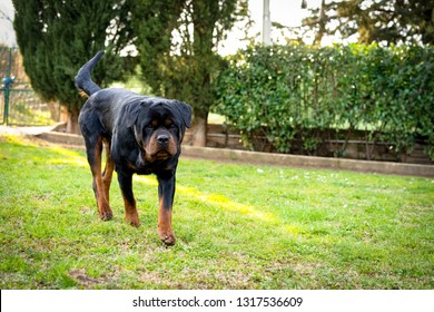 Beautiful black watchdog with long straight tail walking in the garden