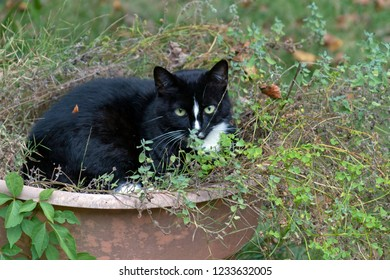 A beautiful black and white cat chills out in a large pot of catnip