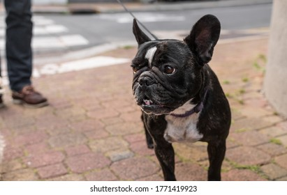 Beautiful black and white french bulldog being walked by his master in the street. The cute domestic animal is looking on the left. So sweet.