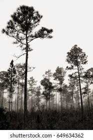 Beautiful Black and White landscape in the early morning fog with Saw palmetto (Serenoa repens) Slash pine (Pinus elliottii) and in the Florida Everglades National Park.