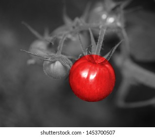 beautiful black and white photo with bright red tomato photographed close-up