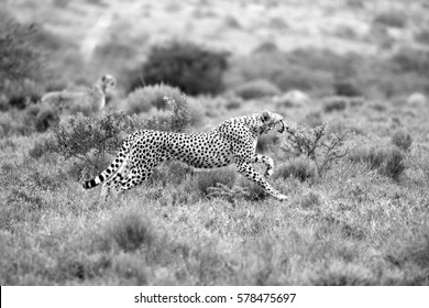 A beautiful black and white photo  of a cheetah running while hunting on the the plains with another cheetah in the background.Taken on safari in Africa.