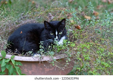 A beautiful black and white pussycat iies down in a bed of catnip sniffing the leaves